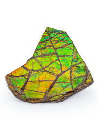 Ammolite Fossil Placenticeras sp. Cretaceous Bearpaw Formation Southern Alberta, Canada 3.28 x 3.11 x 0.29 inches (8