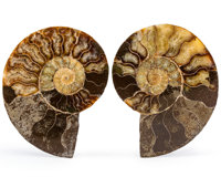 Sliced Ammonite Pair Cleoniceras sp. Cretaceous Madagascar 4.66 x 3.35 x 0.65 inches (11.83 x 8.52 x 1.66 cm)  ... (Tota...