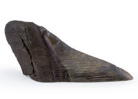 Megalodon Shark Tooth Paperweight Carcharocles megalodon Miocene Morgan River South Carolina, USA 5.38 x 1.97 x 1.15
