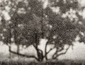 Photographs, Ruth Bernhard (American, 1905-2006). Apple Tree, 1973. Gelatin silver, printed later. 10-1/8 x 13-1/8 inches (25.7 x 33....