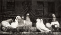 Photographs, Ruth Bernhard (American, 1905-2006). Pigeons, San Francisco, 1956. Gelatin silver, printed later. 7-3/4 x 13-3/8 inches ...