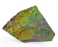 Ammolite Fossil Placenticeras sp. Cretaceous Bearpaw Formation Southern Alberta, Canada 7.60 x 5.51 x