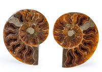 Sliced Ammonite Pair Cleoniceras sp. Cretaceous Madagascar 3.56 x 2.93 x 0.51 inches (9.05 x 7.43 x 1.30 c... (Total: 2...