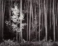 Ansel Adams (American, 1902-1984) Aspens, Northern New Mexico, 1958 Gelatin silver, printed between 1963 and 1973 15-