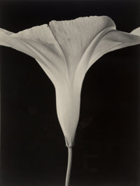 Tom Baril (American, b. 1952) Morning Glory, 1998 Oversized gelatin silver, 2001 34 x 25-1/2 inch
