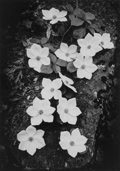 Photographs, Ansel Adams (American, 1902-1984). Dogwood, Yosemite National Park, California, 1938. Gelatin silver, printed later by A...