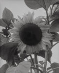 Photographs, Man Ray (American, 1890-1976). Sunflower, 1930. Gelatin silver. 9-1/8 x 7-1/8 inches (23.2 x 18.1 cm). Signed and dated ...