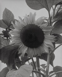 Man Ray (American, 1890-1976) Sunflower, 1930 Gelatin silver 9-1/8 x 7-1/8 inches (23.2 x 18.1 cm) Signed and dated