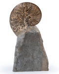 Fossils:Cepholopoda, Ammonite Fossil. Placenticeras meeki. Late Cretaceous. Pierre Shale. Meade County, South Dakota, USA. 5.61...