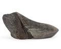 Fossils:Fish, Megalodon Shark Tooth 'Paperweight'. Carcharocles megalodon. Miocene. Morgan River. South Carolina, USA. 5...