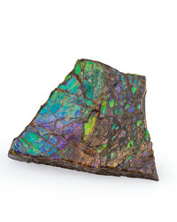 Ammolite Fossil Placenticeras sp. Cretaceous Bearpaw Formation Southern Alberta, Canada 3.24 x 2.43 x