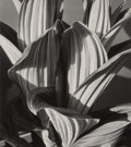 Photographs, Imogen Cunningham (American, 1883-1976). False Hellebore, 1926. Gelatin silver, printed before 1964. 6-3/4 x 6 inches (1...