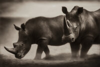 Nick Brandt (English, b. 1964) Two Rhinos, Lewa Downs, 2002 Pigment print 11-1/8 x 16-3/8 inches