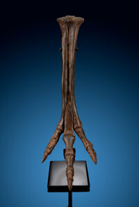 Ornithomimid Dinosaur Foot Struthiomimus Late Cretaceous Lance Formation Wyoming, USA  ... (Total: 2 Items)