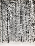 Photographs, Ansel Adams (American, 1902-1984). Trees and Snow, Yosemite, 1933. Gelatin silver, printed 1960. 11-1/8 x 8-5/8 inches (...