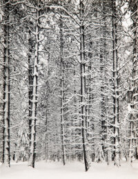Ansel Adams (American, 1902-1984) Trees and Snow, Yosemite, 1933 Gelatin silver, printed 1960 11-