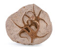 """Fossils:Echinoderms, Fossil Starfish. """"Brittle Star"""". Ophiuroidae sp.. Ordovician. Ktaoua Formation. Mecissi, Sahara Desert, Mo..."""