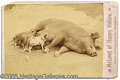 Photography:Cabinet Photos, CABINET CARD OF SOW AND HER LITTER OF PIGLETS. CABINET CARD OF S...