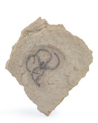 Fossil Starfish Ophiura sp. Cretaceous Del Rio Formation McLennan County, Texas, USA 2.96 x 2.83 x 0
