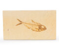 Fossils:Fish, Fossil Fish. Diplomystus sp.. Eocene. Green River Formation. Wyoming, USA. 7.28 x 4.13 x 0.39 inches (18.5...