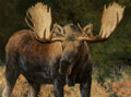 Paintings, Ken Carlson (American, b. 1937). Moose. Oil on Masonite . 45 x 60-1/8 inches (114.3 x 152.7 cm). Signed lower right: C...
