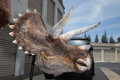 Movie/TV Memorabilia, Triceratops head from the Jurassic Park touring science exhibition. ...