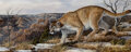 Paintings, Trevor Swanson (American, b. 1968). Mountain Lion. Oil on canvas. 10 x 24 inches (25.4 x 61.0 cm). Signed lower right: ...
