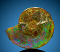 """Fossils:Cepholopoda, """"Gem"""" Ammonite Fossil. Placenticeras sp.. Cretaceous. Bearpaw Formation. Southern Alberta, Canada. ..."""
