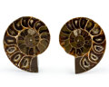 Fossils:Cepholopoda, Sliced Ammonite Pair. Cleoniceras sp.. Cretaceous. Madagascar. 2.21 x 1.75 x 0.53 inches (5.62 x 4.44 x 1.35 c... (Total: 2 Items)