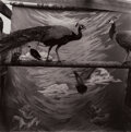 Photographs, Keith Carter (American, 1948). Two Peacocks, 1988. Gelatin silver print on Agfa paper. 14-1/2 x 14-1/2 inches (36.8 x 36...