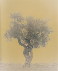 Ori Gersht (Israeli, 1967) Olive 11 (from Ghost series), 2003 Dye coupler print, printed 2004 59 x 47-1/2 inches (149