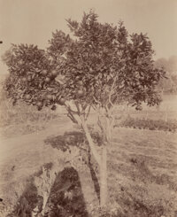 Eugene Atget (French, 1857-1927) L'Oranger (with Shadow of Photographer and His Camera), circa 1890 Albumen print, pri...