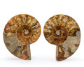 Fossils:Cepholopoda, Sliced Ammonite Pair. Cleoniceras sp.. Cretaceous. Madagascar. 3.15 x 2.59 x 0.41 inches (8.00 x 6.57 x 1.05 c... (Total: 2 Items)