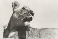 Herb Ritts (American, 1952-2002) Lioness Reflected (Tight View), Africa, 1993 Gelatin silver print 9 x 13-1/8 inches