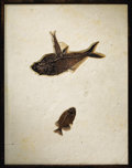 Fossils:Fish, LARGE MULTIPLE FOSSIL FISH PLATE. ...
