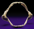 Zoology:Osteology, GIANT TIGER SHARK JAW. ...