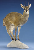 Zoology:Taxidermy, KLIPSPRINGER FULL-BODY MOUNT. ...