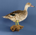 Zoology:Taxidermy, AFRICAN CAPE TEAL. ...