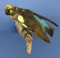 Zoology:Taxidermy, MEYER'S PARROT. ...