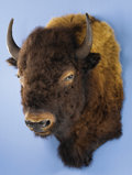 Zoology:Taxidermy, AMERICAN BISON SHOULDER MOUNT. ...