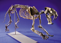 SUPERB COMPLETE SABRE-TOOTHED CAT SKELETON