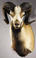 Zoology:Taxidermy, CORSICAN SHEEP SHOULDER MOUNT. ...