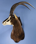Zoology:Taxidermy, SABLE ANTELOPE SHOULDER MOUNT. ...