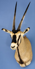 Zoology:Taxidermy, FRINGE-EARED ORYX SHOULDER MOUNT. ...