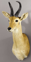 Zoology:Taxidermy, EASTERN BOHOR REEDBUCK SHOULDER MOUNT. ...