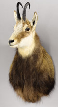 Zoology:Taxidermy, ALPINE CHAMOIS SHOULDER MOUNT. ...