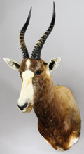 Zoology:Taxidermy, AFRICAN BLESBUCK SHOULDER MOUNT. ...