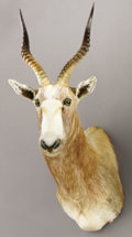 Zoology:Taxidermy, WHITE BLESBUCK SHOULDER MOUNT. ...