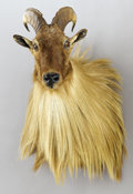 Zoology:Taxidermy, HIMALAYAN TAHR SHOULDER MOUNT. ...