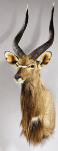 Zoology:Taxidermy, SOUTHEERN NYALA SHOULDER MOUNT. ...